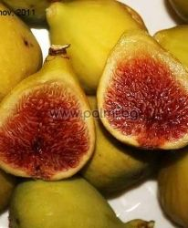 Ficus carica Hardy Yellow, Feigensorte Hardy Yellow von Botanischem Garten - Plovdiv, Bulgarien