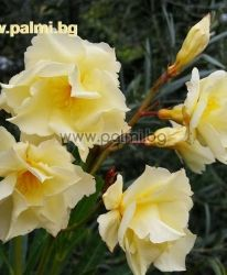 Oleander 'Luteum Plenum', Double Yellow, scented