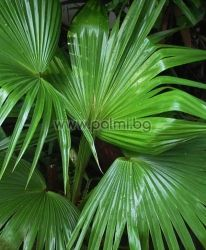Livistona chinensis, Chinese fan palm