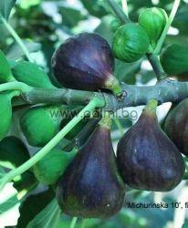 Fig variety Michurinska-10