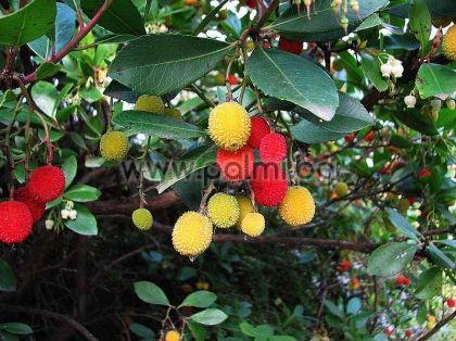 Ягодово дърво, Кумарка