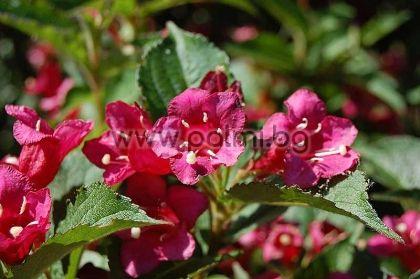 Вейгела, тъмно розова