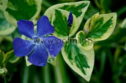 Vinca minor variegata, Пъстра Винка, Зимзелен