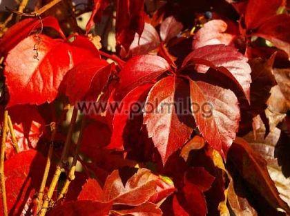 Parthenocissus quinquefolia, Дива Лоза