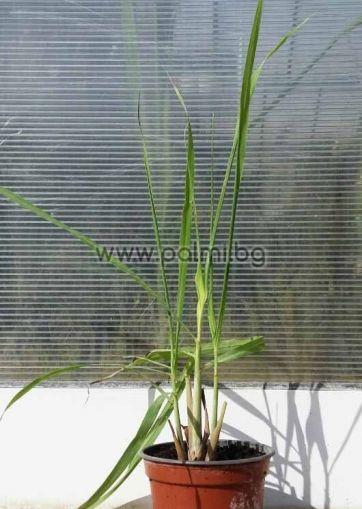 Cymbopogon citratus, Лимонова Трева