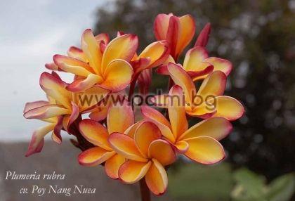 2. Плумерия сорт Poy Nang Nuea, Франджипани