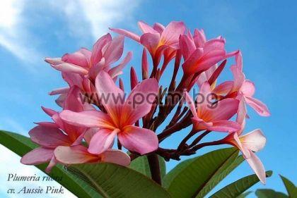 6. Плумерия сорт Aussie Pink, Франджипани