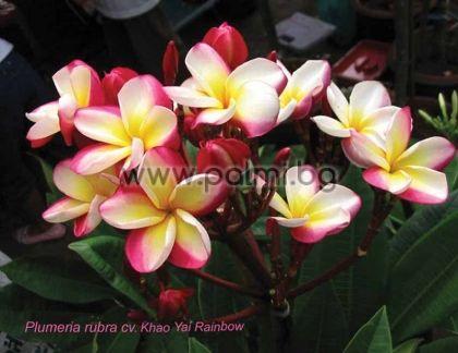 7. Плумерия сорт Khao Yai Rainbow, Франджипани