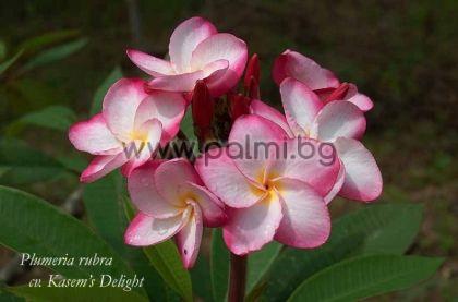 9. Плумерия сорт Kasem's Delight, Франджипани