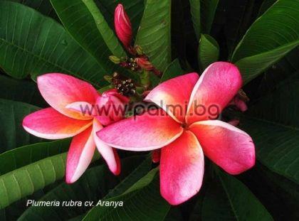 14. Плумерия сорт Aranya, Франджипани