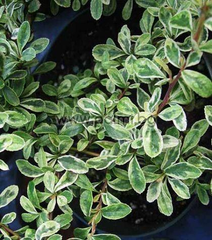 Пираканта с пъстри листа, Variegata