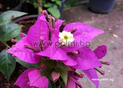 Бугенвилея, лилава, сорт 'Sanderiana'