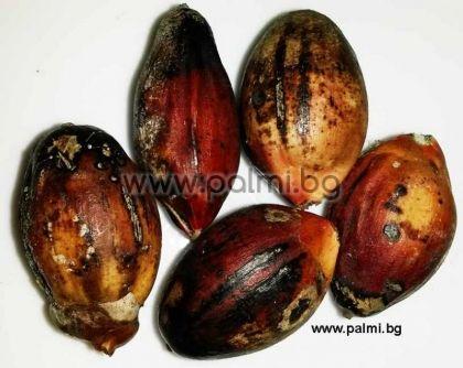 Палма Кенция, пакет 5 броя свежи семена