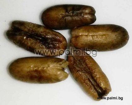 Феникс Робелени, пакет 10 броя свежи семена