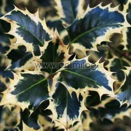 Ilex aquifolium Argentea Marginata, Джел, Илекс с пъстри листа, Argentea Marginata