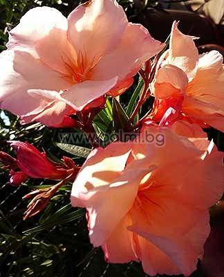 Олеандър, прасковен цвят, сорт