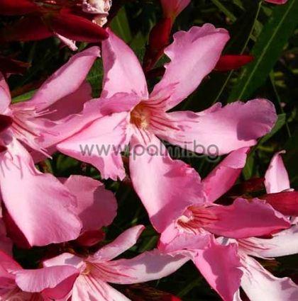 Олеандър, светло розов, сорт 'Magaly'