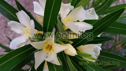 Nerium oleander 'Maria Gambetta', Oleander, gelb