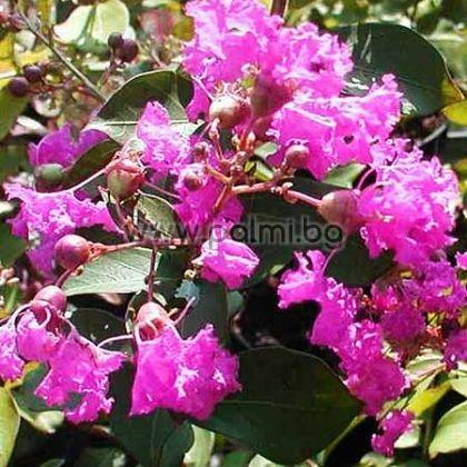 Индийски люляк, Лагерстремия 'Petite Orchid'