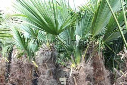 Студоустойчива палма Трахикарпус с 0,3-0,4 м стъбло