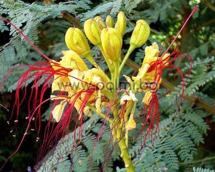 Цезалпиния, Жълта Райска Птица