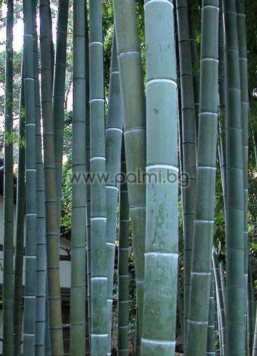 Гигантски бамбук Мозо