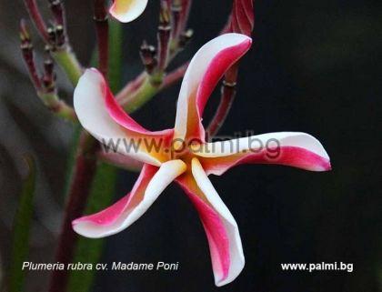 19. Плумерия сорт Madame Poni Hybrid, Франджипани