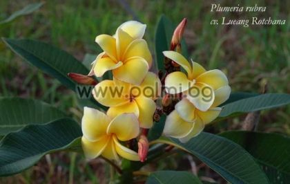 22. Плумерия сорт Lueang Rotchana, Франджипани