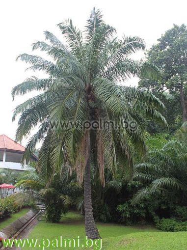 Африканска Маслодайна Палма