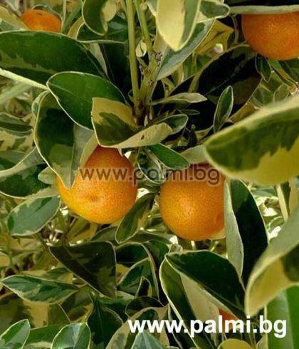 Каламондин Variegata, Декоративна мандарина с пъстри листа