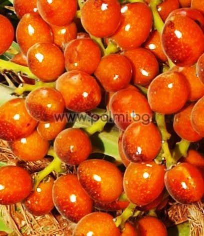 Палма Хамеропс, 20 семена