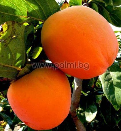 Райска ябълка, сорт Червен Брилянт (Rojo Brillante)