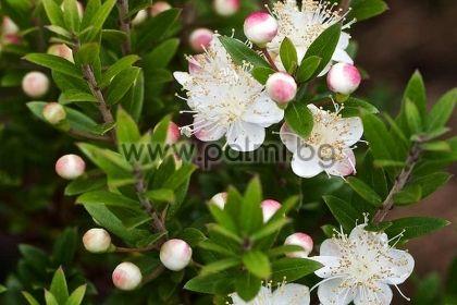 Мирта Тарентина, ssp. Tarentina