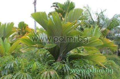 Verschaffeltia splendida, Вершафелтия, Сейшелска палма на кокили  от разсадник Палм Център на Ботаническа градина - Пловдив