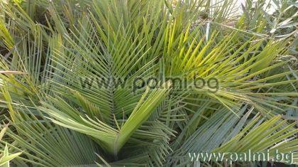Чилийска винена палма, Юбея