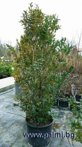 Дървовиден Чимшир, 'Аrborescens'