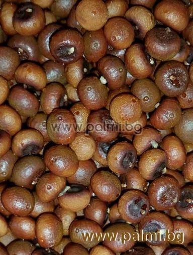 Сабал минор 10 семена