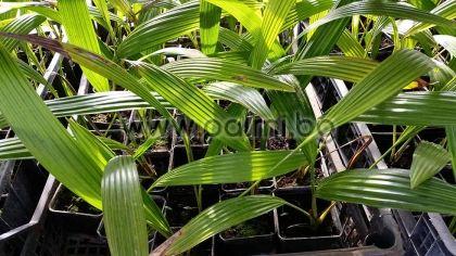 Livistona chinensis, Китайска Ливистона, малка палма