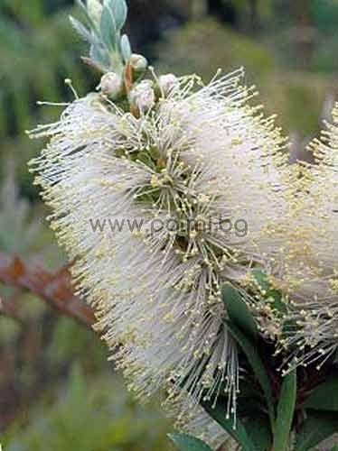 Callistemon citrinus 'White Anzac', Бял Калистемон 'White Anzac'