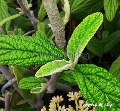 Viburnum, rhytidophyllum, Вечнозелена, Калина, Ритидофилум