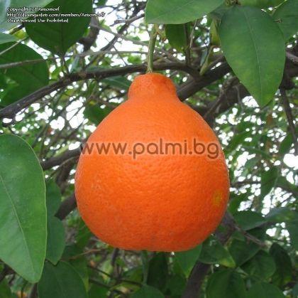 Citrus x Tangelo Minneola, Хибрид Танджело Минола