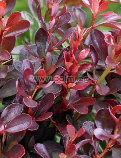 Berberis thunbergii 'Atropurpurea', Берберис, Кисел трън, форма Atropurpurea