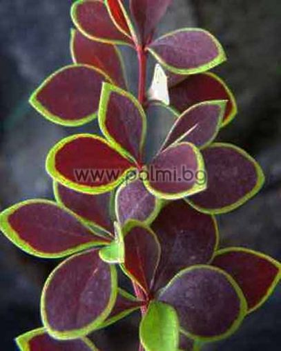 Berberis thunbergii 'Coronita', Берберис, Кисел трън, форма с пъстри листа Коронита