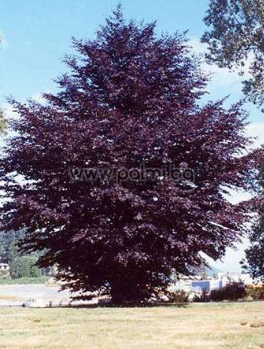 Betula purpurea, Облагородена червена бреза от Палм Център, Ботаническа градина - Пловдив