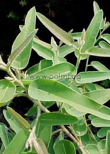 Eucalyptus citriodora, Лимонов Евкалипт
