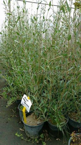 Филирея, Дива маслина