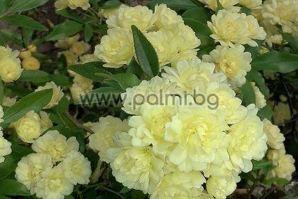 Rosa banksiae Lutea, Жълта роза на Лейди Банкс