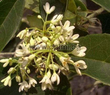 Osmanthus fragrans, Османтус,