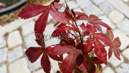 Acer palmatum 'Atropurpureum', Палмолистен Явор с червени листа
