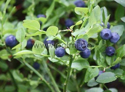 Vaccinium myrtillus, Черна боровинка
